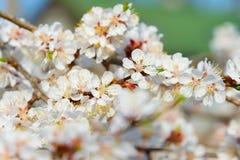Bud blossom flowers branch tree Stock Photo