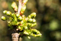 Bud Blossoming körsbär Arkivbilder