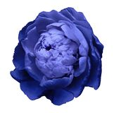 A bud of blue blossoming peony flower. Isolated flower on a white background with clipping path without shadows. For design. stock photo