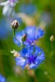 Bud of Blue cornflower royalty free stock photography