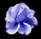 bud blue rose Kwitnie na czarnym odosobnionym tle z ścinek ścieżką Żadny cienie zbliżenie Zdjęcie Stock