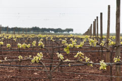Bud break. Spring bud break in the vineyards of Borba, Alentejo, Portugal stock photo