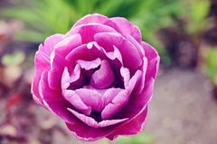 Bud of decorative purple tulip. A bud of a bright purple tulip with delicate petals Royalty Free Stock Photography