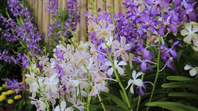 Bud And Budding Orchids With-Bamboeomheining Thai Garden stock afbeelding