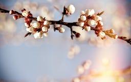 Free Bud, Buds On Fruit Tree - Nature Is Awake Stock Photography - 109034232