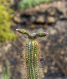 Bud of cactus in detail Royalty Free Stock Photos