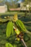 Bud of chestnut tree Stock Photo