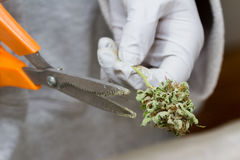 Bud Clipping fotografie stock