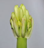 Bud of a clivia. Against a gray background Stock Images