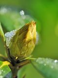 Bud covered with ice. Ice on the bud of a rhododendron flower stock photo