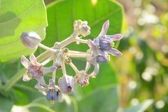 Bud Crown Flower Imagen de archivo libre de regalías