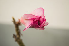 Bud of desert rose Stock Photos