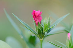 Bud Dianthus chinensis Stock Photos