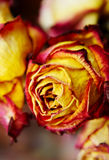 Bud of dry roses, close-up red flower Royalty Free Stock Photography