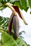 Bud end of a flowering banana stalk Royalty Free Stock Photos