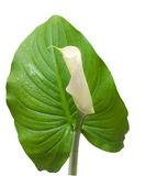 Bud of a flower calla on a leaf Royalty Free Stock Photo