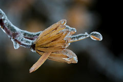 Bud flower frozen. Flower bud covered by ice in winter season royalty free stock photos