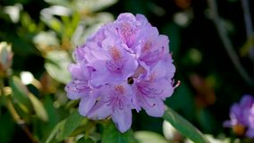 Flowers violet rhododendron bloom on a sunny summer day close up. Bud flower purple rhododendron blossom on a sunny summer day, close up stock footage