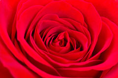 Bud fresh red rose close-up Stock Photo
