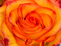 Bud of fresh red and yellow rose Royalty Free Stock Photography