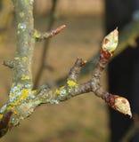 Bud fruit tree, South Bohemia. Czech Republic Stock Photos