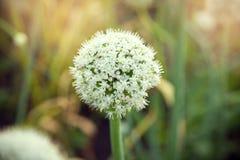 Bud of garlic Stock Image