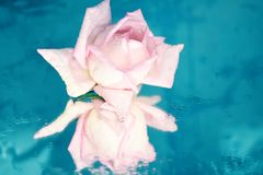 A bud of a gentle flower of a pink rose on a blue wet background. Royalty Free Stock Photo