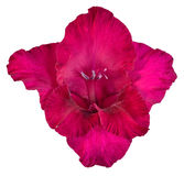 Bud of gladiolus red and Burgundy colors Stock Images
