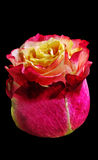 Bud gorgeous rose pink-white color. royalty free stock image