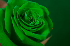 Bud of a green rose Stock Image