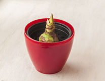 Bud  Hippeastrum Royalty Free Stock Images