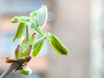 Bud of horse chestnut tree close up in spring Royalty Free Stock Image