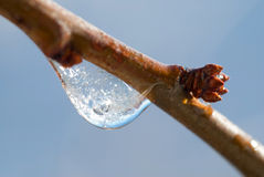 Bud with ice drops Stock Image
