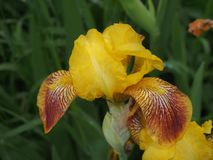 Bud iris yellow. Full-blown flower. The yellow petals. Close-up Royalty Free Stock Image
