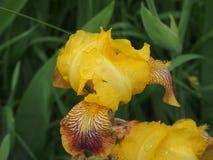 Bud iris yellow. Full-blown flower. The yellow petals. Close-up Royalty Free Stock Photo