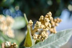 Bud of nespolo giapponese, Eriobotrya japonica Stock Images