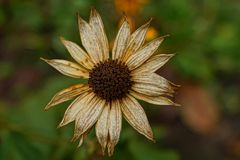 Bud of a large, gray, dried flower in the garden. Large dry flower of a gray brown color Royalty Free Stock Photography