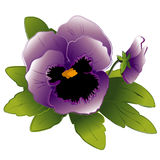 bud lavender pansy 库存照片