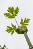 Bud and leaf of Herácléum Stock Photography