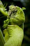 Bud and leaf of Herácléum Stock Photos