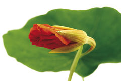 Bud and leaf of nasturtium (Tropaeolum majus), close-up Stock Photos
