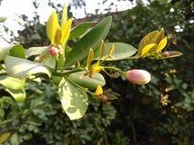 Bud. Lemon plant Bud before Fruit Royalty Free Stock Photography