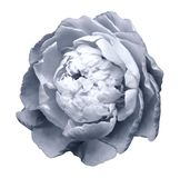 A bud of light white-blue blossoming peony flower. Isolated flower on a white background with clipping path without shadows. royalty free stock photography