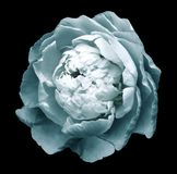 A bud of light white-turquoise blossoming peony flower. flower on the black background with clipping path without shado stock photos