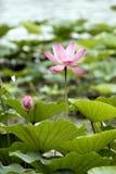 bud lotos Zdjęcie Royalty Free