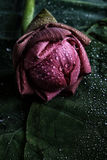 Bud of the lotus Stock Image