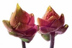 Bud of the lotus Royalty Free Stock Photos