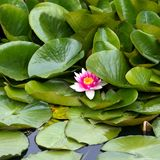 The bud of a lotus flower. Background is the lotus leaf Royalty Free Stock Photos