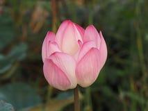 Bud Lotus Pink-bloem op blauwe aard als achtergrond royalty-vrije stock afbeelding