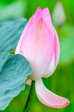 Bud of lotus in rice field Stock Image